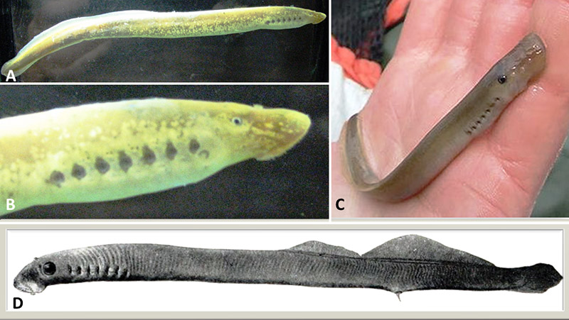Icthyomyzon Lampreys