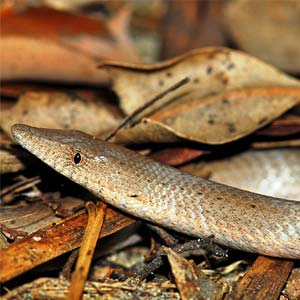 Legless Lizard