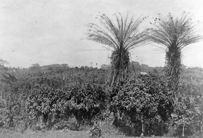 Liberian Coffee Plantation