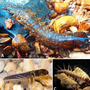 Larval Megaloptera