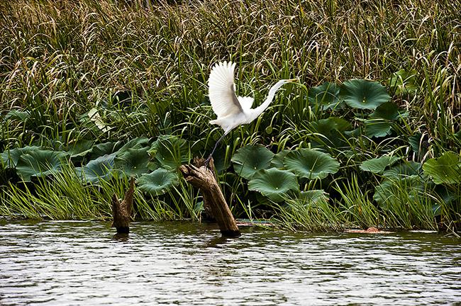 Egret at Millwood Lake