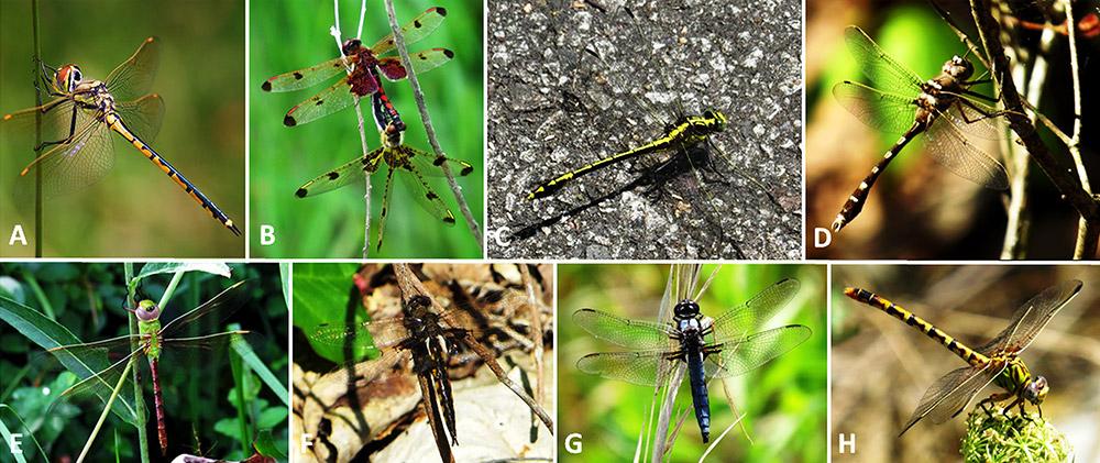Arkansas Dragonflies