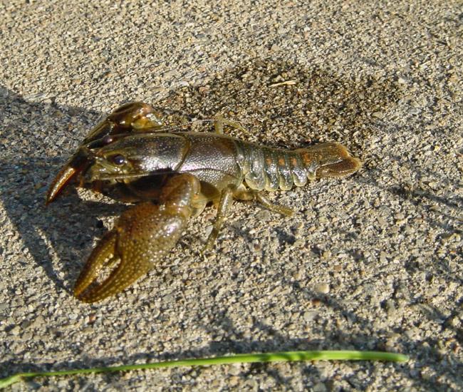 Redspotted Stream Crayfish