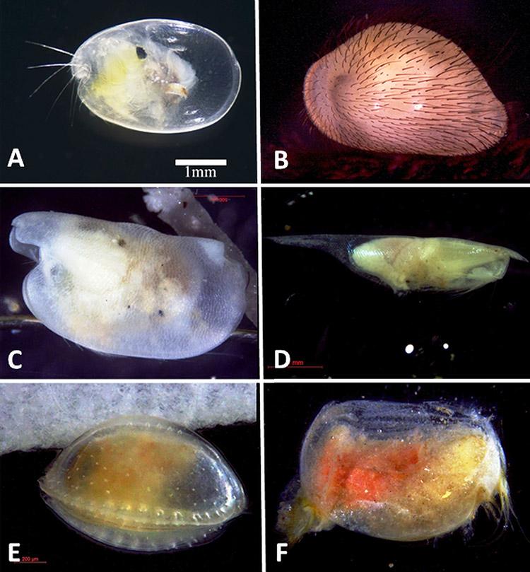 Ostracod Morphology