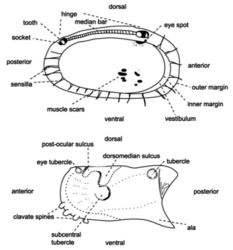 Ostracod Valve Features
