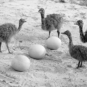 Ostrich Hatchlings