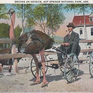 Ostrich Farm Postcard
