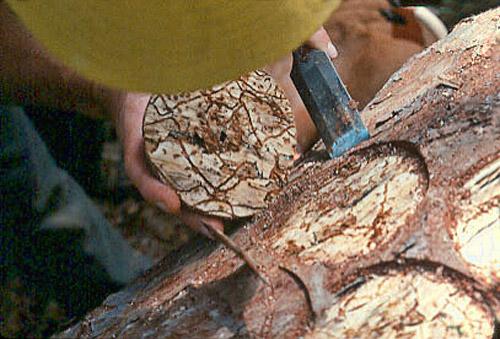 Southern Pine Beetle Damage