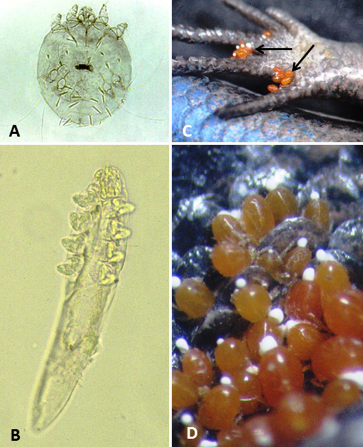 Mites and Chiggers