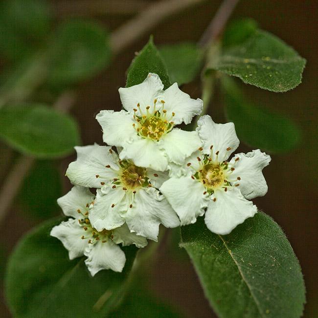 Stern's Medlar Flowers