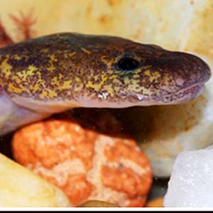 Ouachita Streambed Salamander