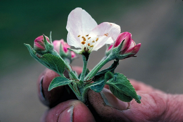 Apple Blossom, Official State Flower