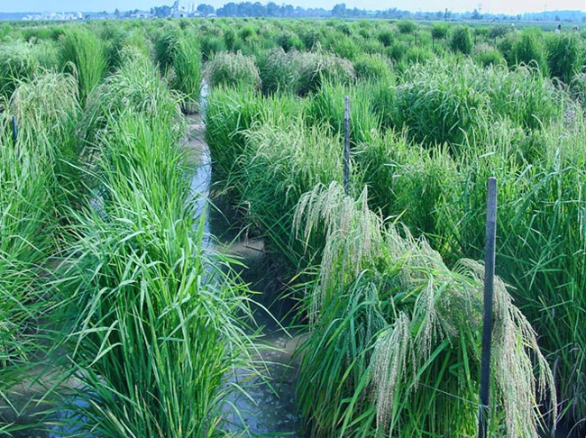 Rice Research Crop at the Dale Bumpers National Rice Research Center