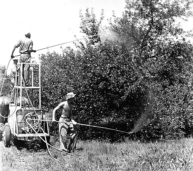 Spraying for Codling Moth