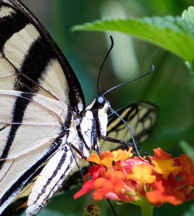 Eastern Tiger Swallowtail Proboscis