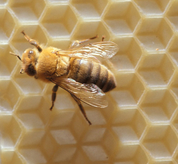 Honeybee, Official State Insect