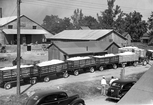Kaiser Gin: Unloading Cotton