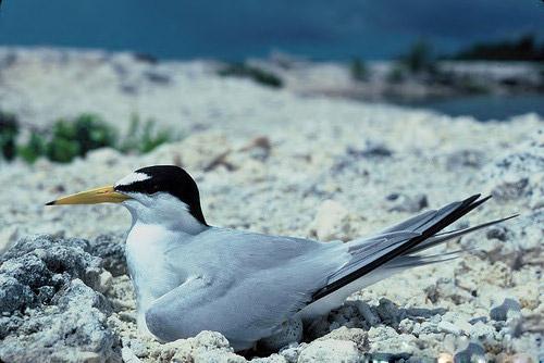 Interior Least Tern
