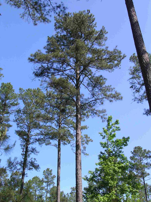 Pine Tree, Official State Tree