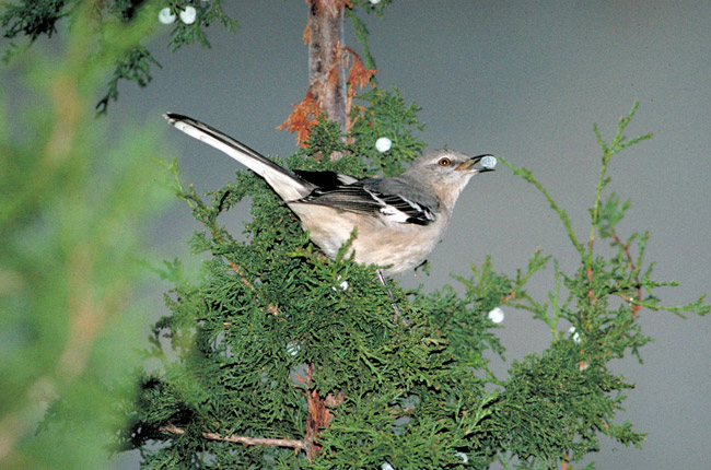 Mockingbird, Official State Bird