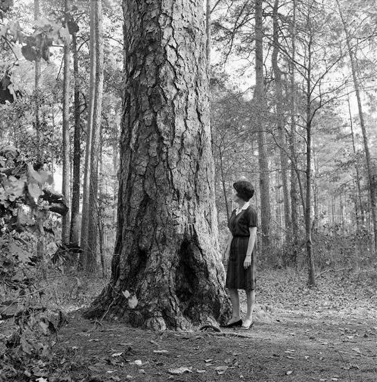 Morris Pine
