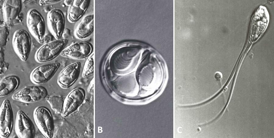 Myxozoan Spores