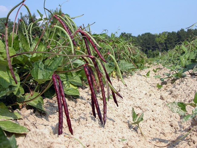 Purple Hull Peas