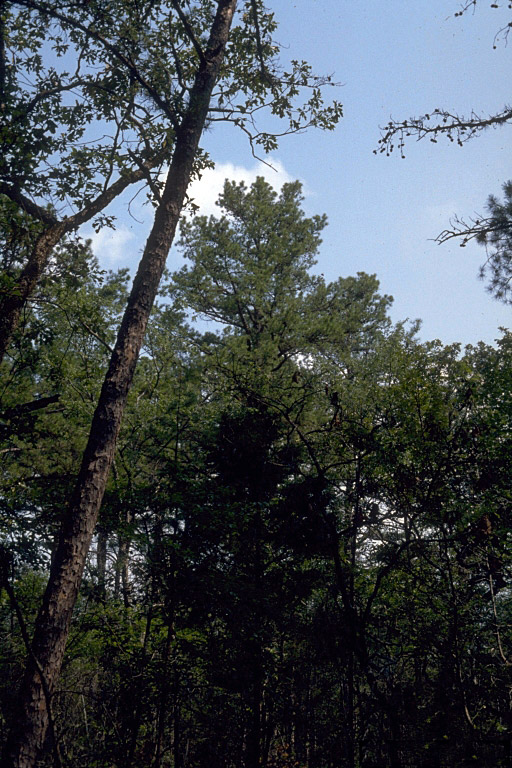 Southern Shortleaf Pine