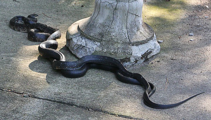 Ratsnakes Mating