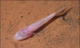 Southern Cavefish