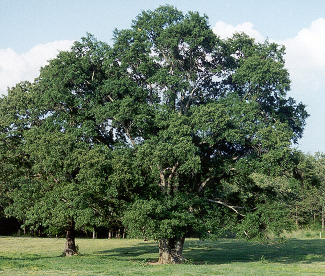 T. Texas Tyler Tree