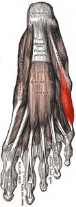 https://en.wikipedia.org/wiki/Abductor_digiti_minimi_muscle_of_foot#/media/File:Abductor_digiti_minimi_(foot).png