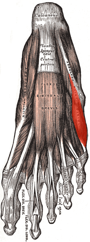 https://en.wikipedia.org/wiki/Abductor_digiti_minimi_muscle_of_foot#/media/File:Abductor_digiti_minimi_(foot).png