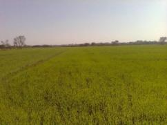 544 Kanal Agricultural Land For Sale In Chak 29 GB Butewala, Best For Wheat, Rice, Vegetables, Maize and Sugar Cane Crops
