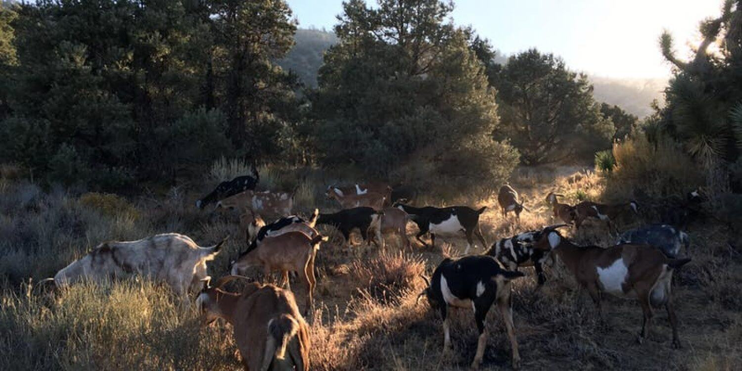 Year End Silent Walking Meditation with Goats