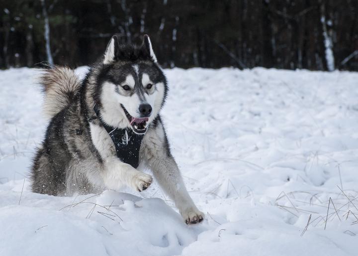 Life's Good When You're a Husky!