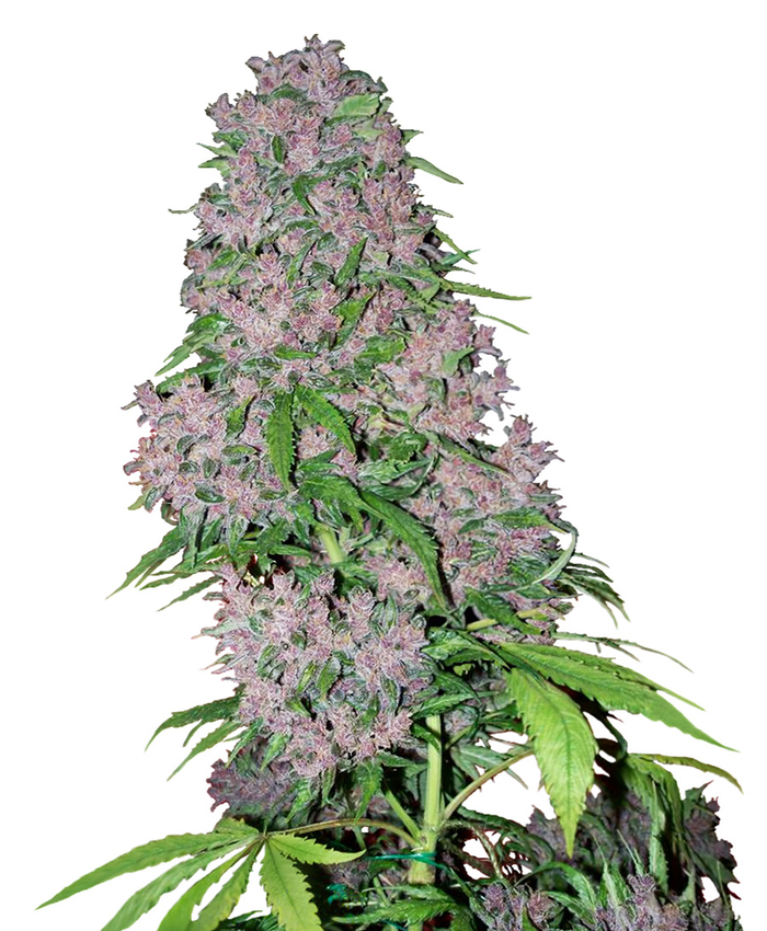 White Label: Purple Bud