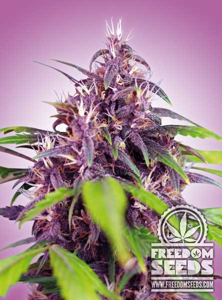Freedom: Purple Express Automatic