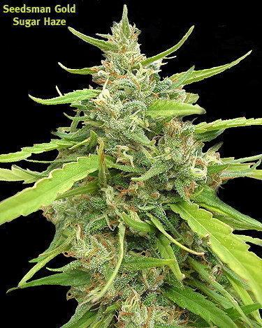 Seedsman: Sugar Haze
