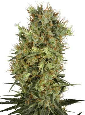 White Label: California Orange Bud