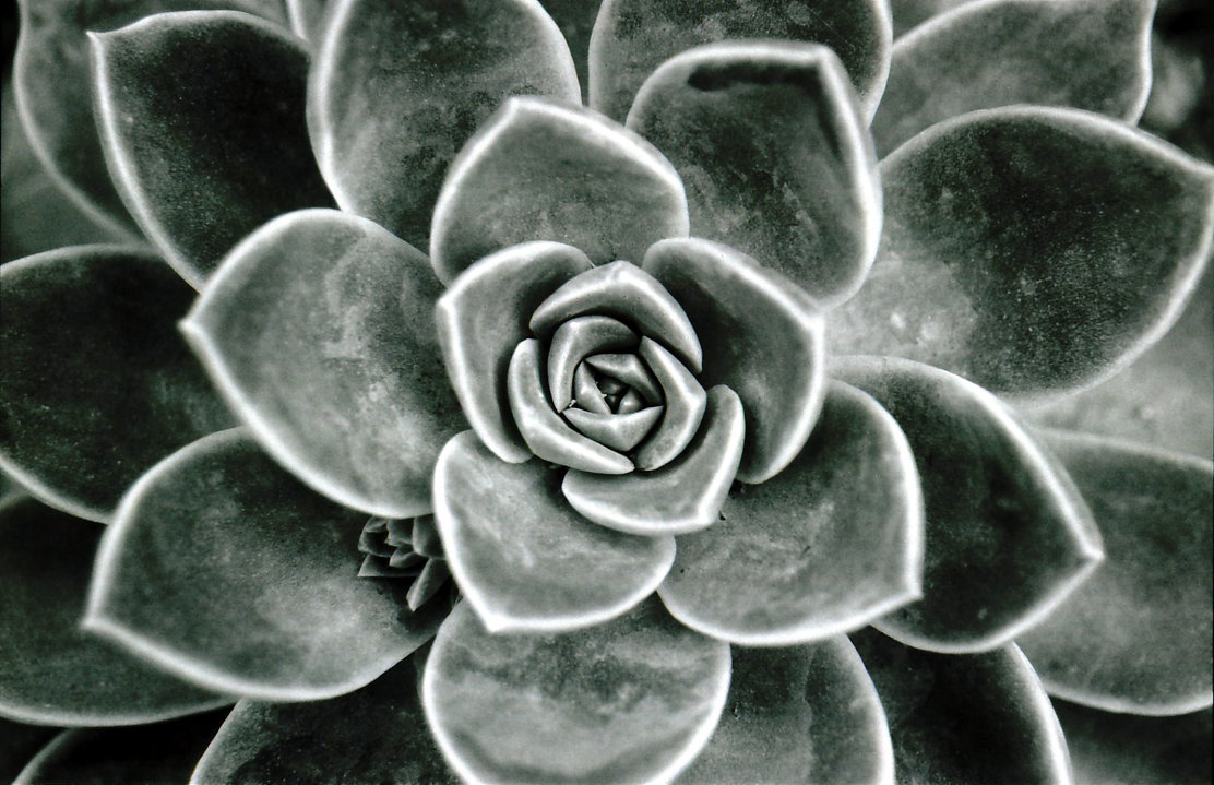 grey rose succulent