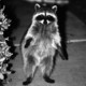Raccoon_bw_smaller_75089477_7ndta-o-4