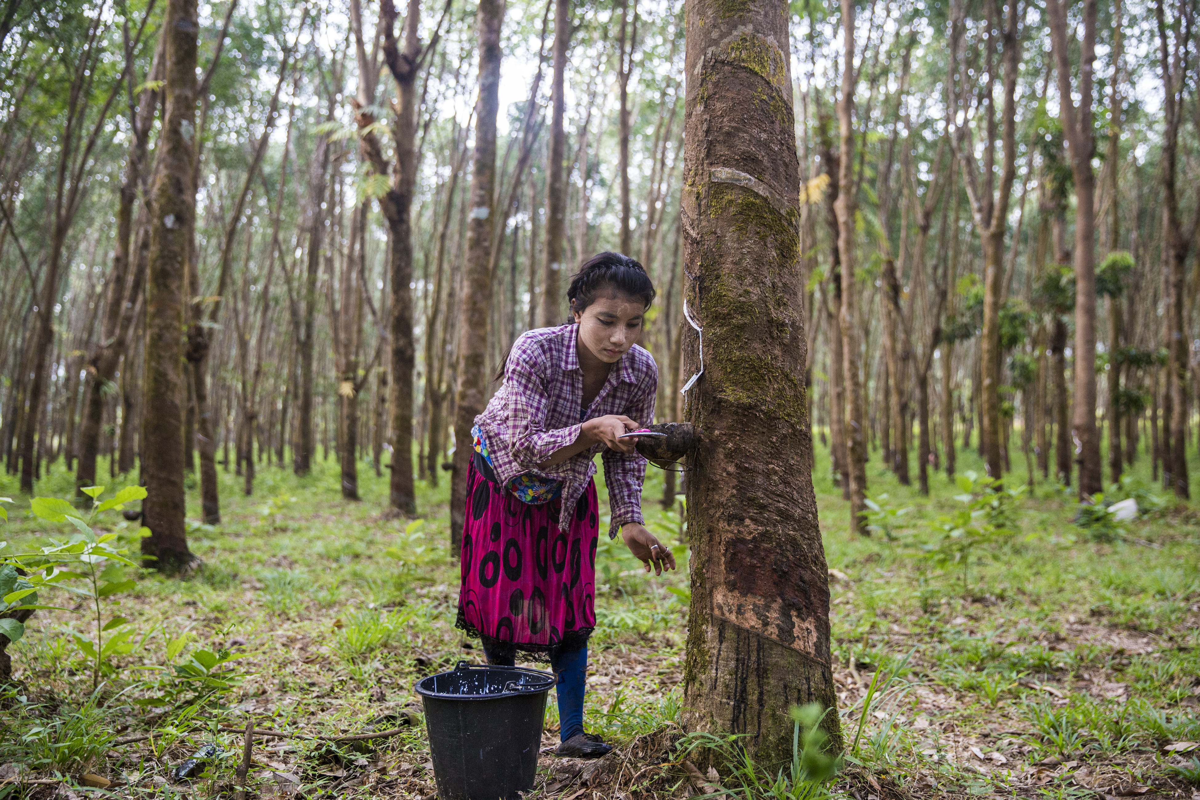 Growing Myanmar's rubber industry from the ground up by WWF