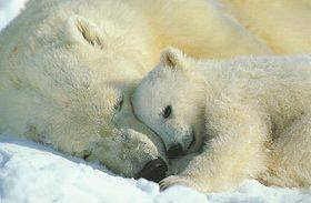 Polarbear cub article