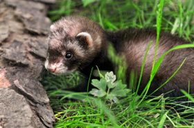 Ferret article