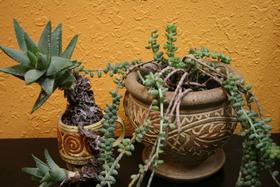 Succulent duo 1 article