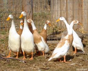 Layer ducks 800 article