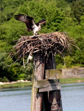 Osprey article