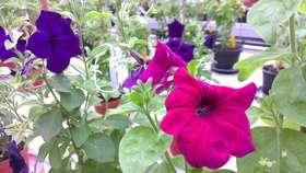 Petunia high res article