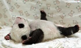 Giant panda yuan yuan see 006 article